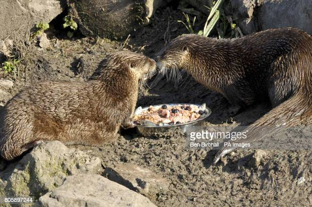 North American River Otters Minnie and Haha eat a specially prepared birthday cake containing chicken mince carrot apple sprats prawns blueberries...