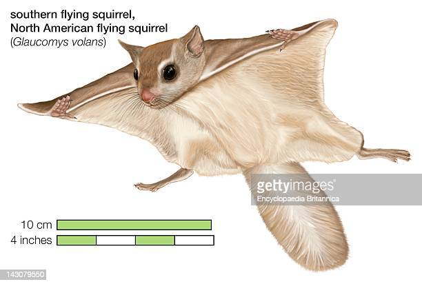 North American Southern Flying Squirrel