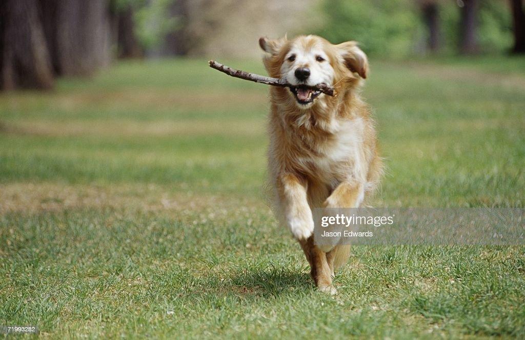 North Carlton, Victoria, Australia. A golden retriever runs with a stick in its mouth.
