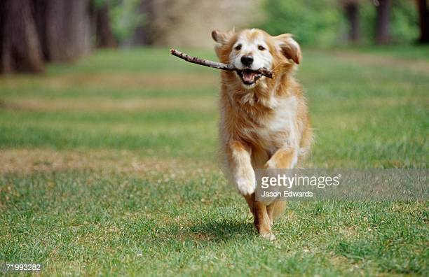 North Carlton, Victoria, Australia. A golden retriever runs with a stick in its mouth.