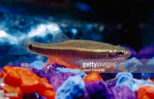 North Carlton, Victoria, Australia. A tetra, or minnow, fish swimming in an aquarium. : Stock Photo