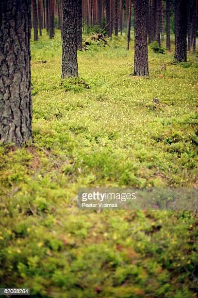 north european forest