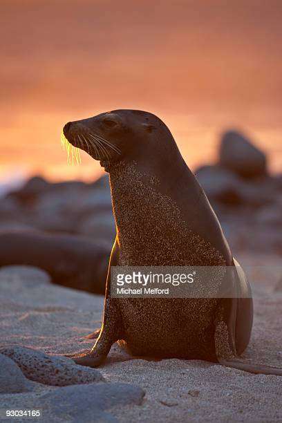 A lone sea lion at sunset in the Galapagos Islands.