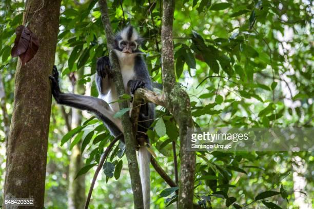 North Sumatran Leaf Monkey hanging on a tree