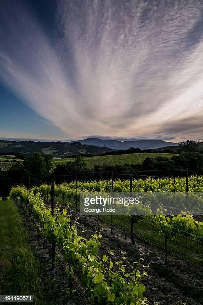 Northern California's Wine Country appears to be headed for another large vintage despite the current drought conditions on May 5 in Sonoma...