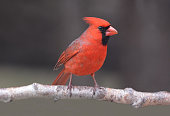 A male Northern Cardinal sits perched on a branch
