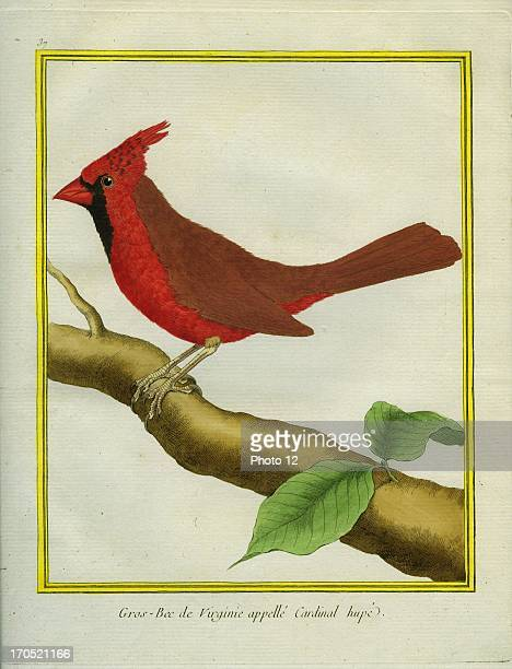 Northern Cardinal Cardinalis cardinalisNorthern CardinalGeorgesLouis Leclerc Comte of Buffon 'Natural History of birds fish insects and reptiles'...