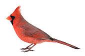 Northern Cardinal, Cardinalis, Isolated