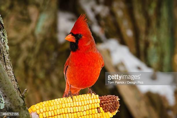 A Northern Cardinal (Cardinalis Cardinalis) Eating From A Cob Of Corn On A Tree Branch