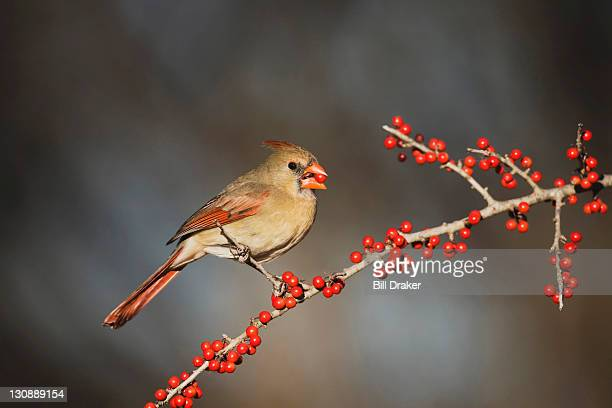 Northern Cardinal (Cardinalis cardinalis), female eating Possum Haw Holly (Ilex decidua) berries, Bandera, Hill Country, Texas, USA