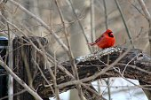 This photo is of a Northern Cardinal perching on a wooden fence post in Central Park. This photo was taken in the first week of March.