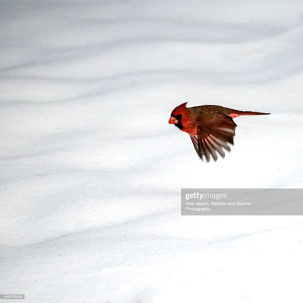 Northern Cardinal in flight over the snow