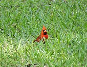 Northern Cardinal in the grass