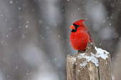 Northern Cardinal male in winter