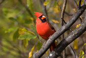 Red Northern Cardinal perching pretty with treed background
