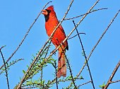 Northern Cardinal perched in the tree.