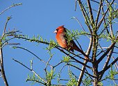 Northern Cardinal perched in the tree