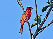 Northern Cardinal resting in the tree