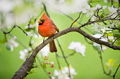 A northern cardinal (Cardinalis cardinalis) perched in an apple tree framed by spring blossoms.
