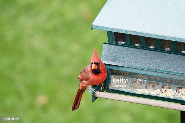 Northern Cardinal Perched on Bird Feeder