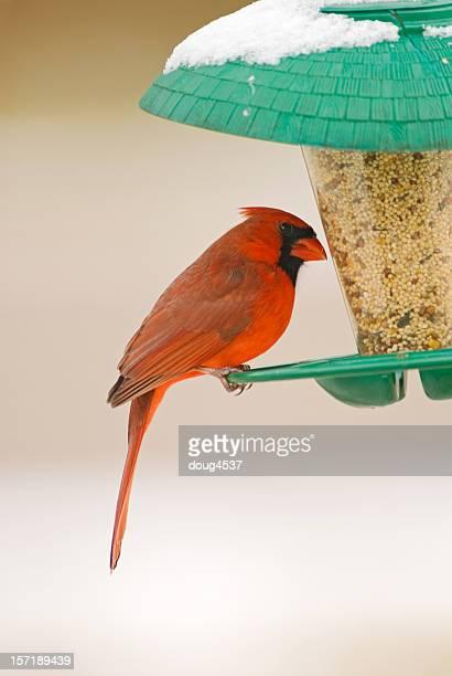 Northern Cardinal Perched on Birdfeeder