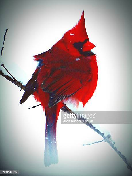 Northern Cardinal Perching On Branch In Winter Season