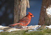 Close up of a male Northern Cardinal sitting on a moss covered log with a fresh dusting of snow
