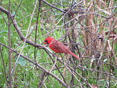 Male Cardinal sitting on a branch