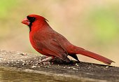 Close up of a male Northern Cardinal eating birdseed
