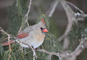 Close up of female Northern Cardinal perched in a cedar tree