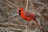 Portrait of a Northern Cardinal