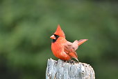 Close up of a male Northern Cardinal