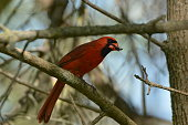 Male Northern Cardinal sits perched in a tree eating a large bug