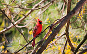 Red Cardinal, aka, Northern Cardinal, perching on tree branch in woods