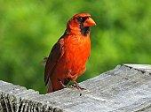 Northern Cardinal resting