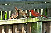 Three Northern Cardinal's in the Florida wetlands