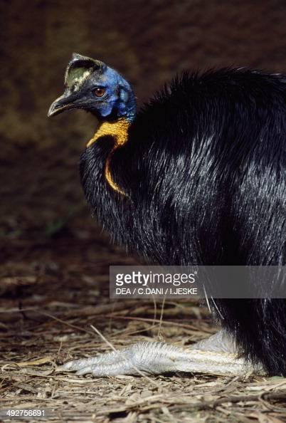 Northern cassowary Single wattled cassowary or Goldennecked cassowary Casuariidae
