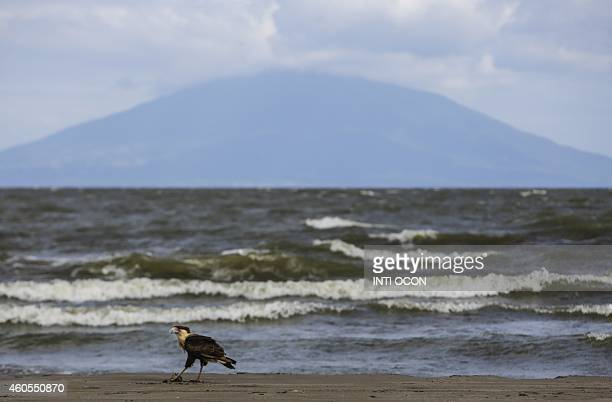 A northern crested caracara remains at Obrajuelo community in Rivas a village overlooking Lake Cocibolca in southeastern Nicaragua on December 11...