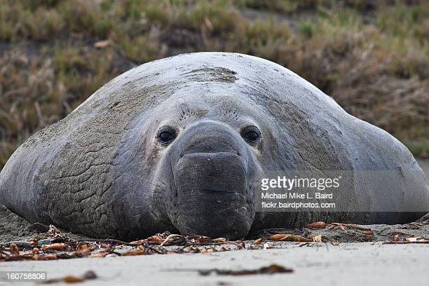 Northern Elephant Seal, Alpha Male