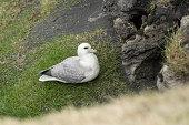 Names: Northern Fulmar, Arctic Fulmar, Fulmar Scientific name: Fulmarus glacialis Country: Iceland Location: Ingólfshöfdi