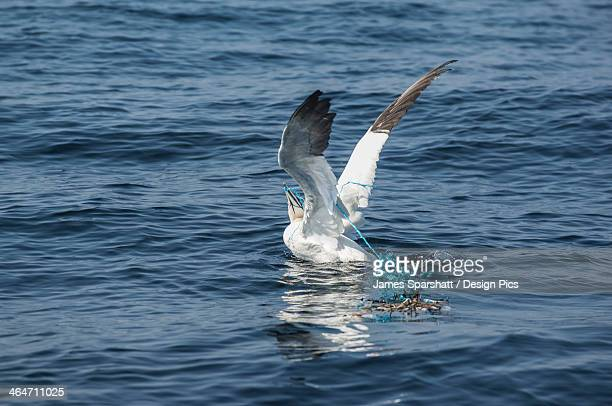 Northern gannet caught by a rope