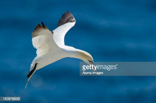 Northern Gannet (Morus bassanus) : Foto de stock