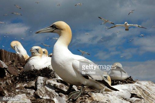 Northern Gannet : Stock Photo