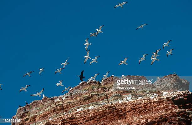 Northern Gannets at birdrock, Helgoland, Schleswig-Holstein, Germany (Morus bassanus, Sula bassana)