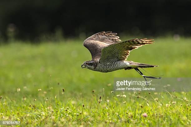 A northern goshawk flying. Falconry.