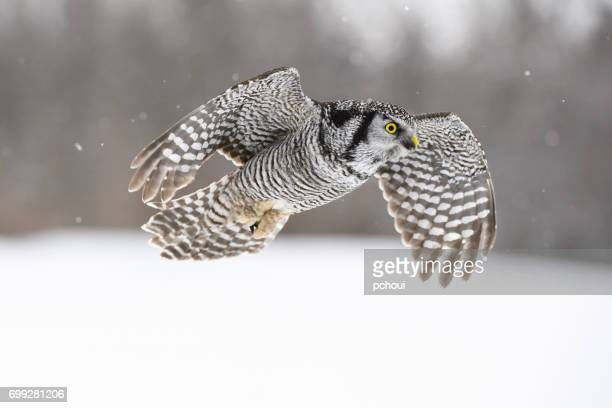 Northern Hawk Owl, surnia ulula, rare bird in flight