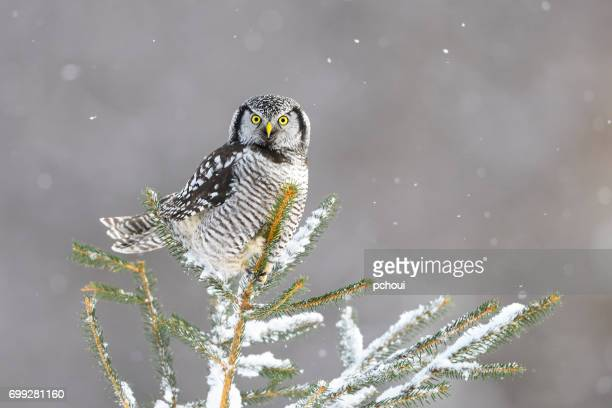 Northern Hawk Owl, surnia ulula, rare bird perching