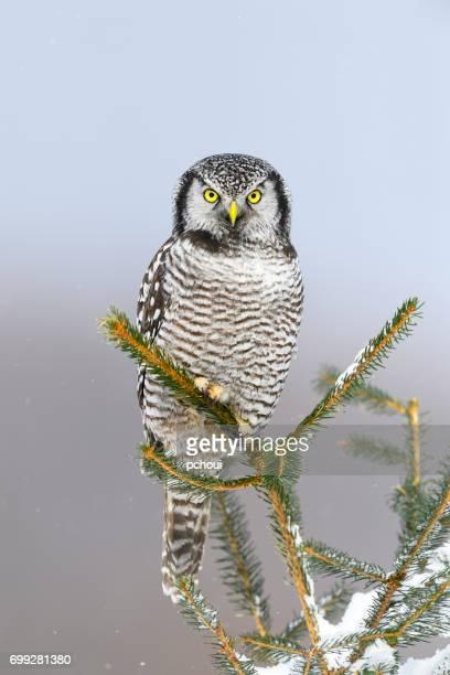 Northern Hawk Owl, surnia ulula, rare bird perching