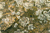 Northern lichen on stone close up - beautiful stone background