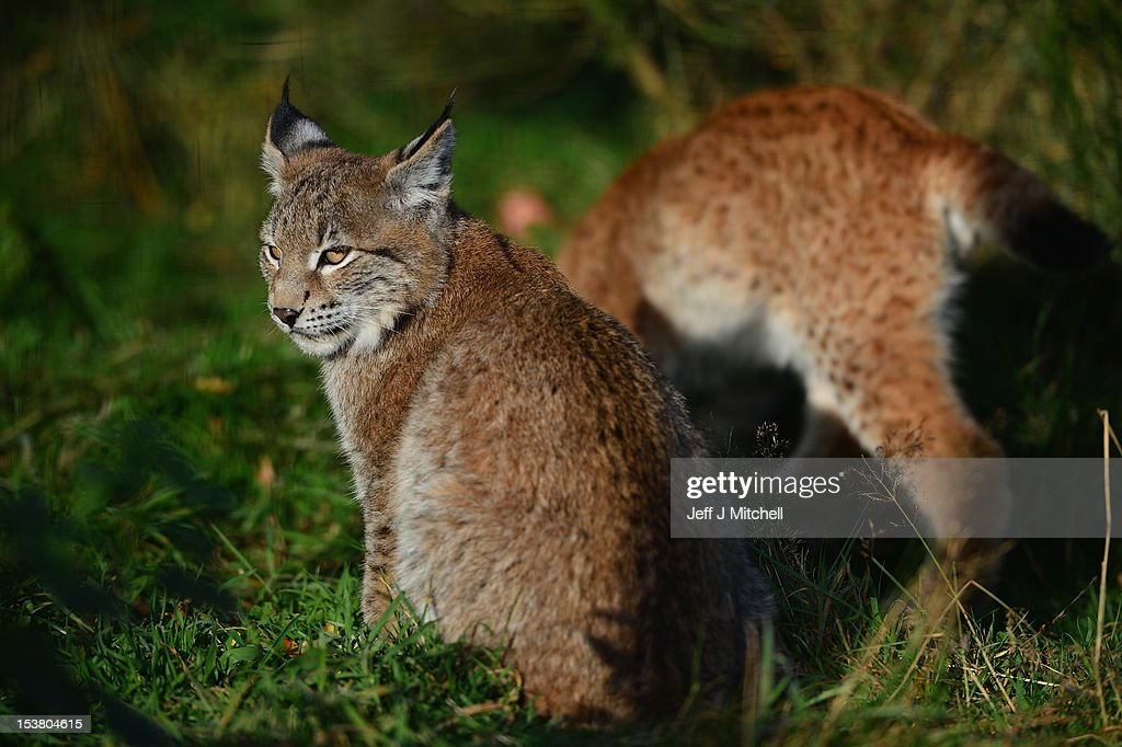 Northern Lynx kittens, explore their enclosure at the Highland Wildlife park on October 9, 2012 in Kingussie, Scotland. The feline twins are believed to be the type of lynx found historically in Scotland. The Highland Wildlife Park specialises in Scottish animal species, both past and present, and species that are well adapted to cold weather.